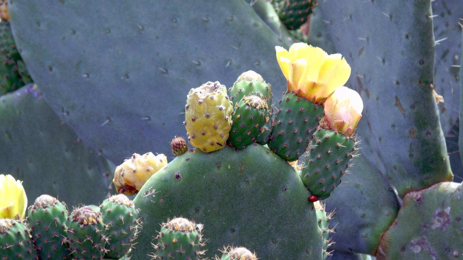 3_Opuntia ficus indica