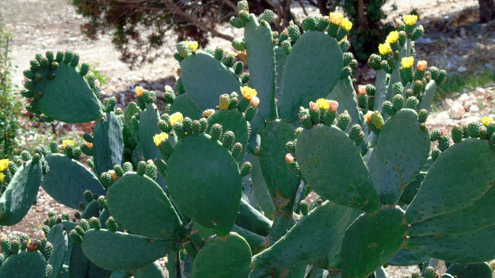 4_Opuntia ficus indica