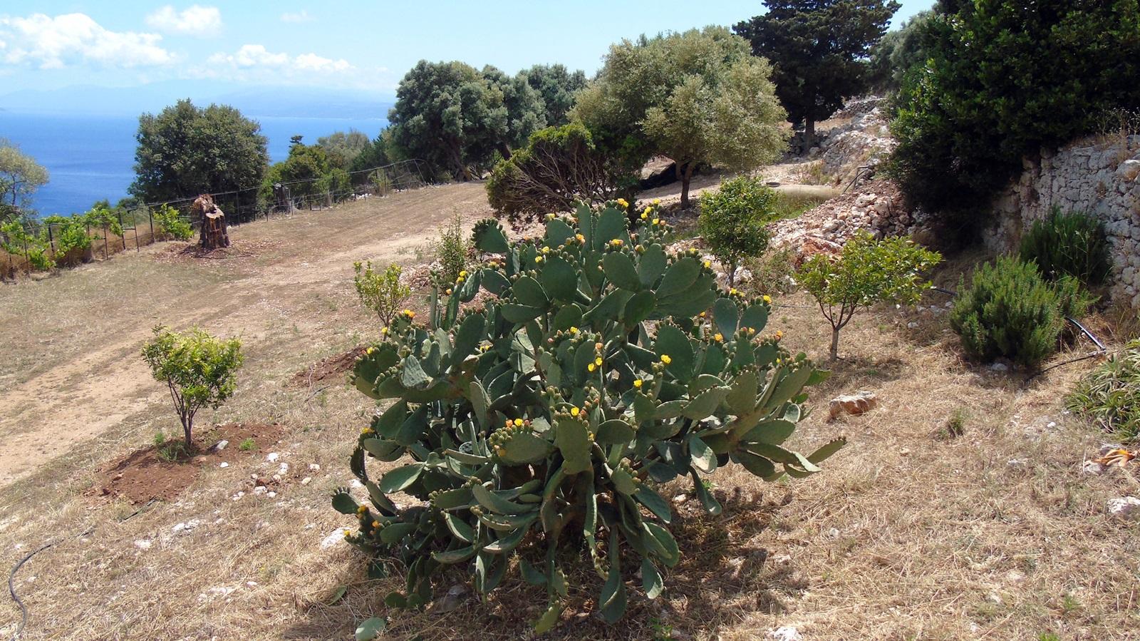 6_Opuntia ficus indica