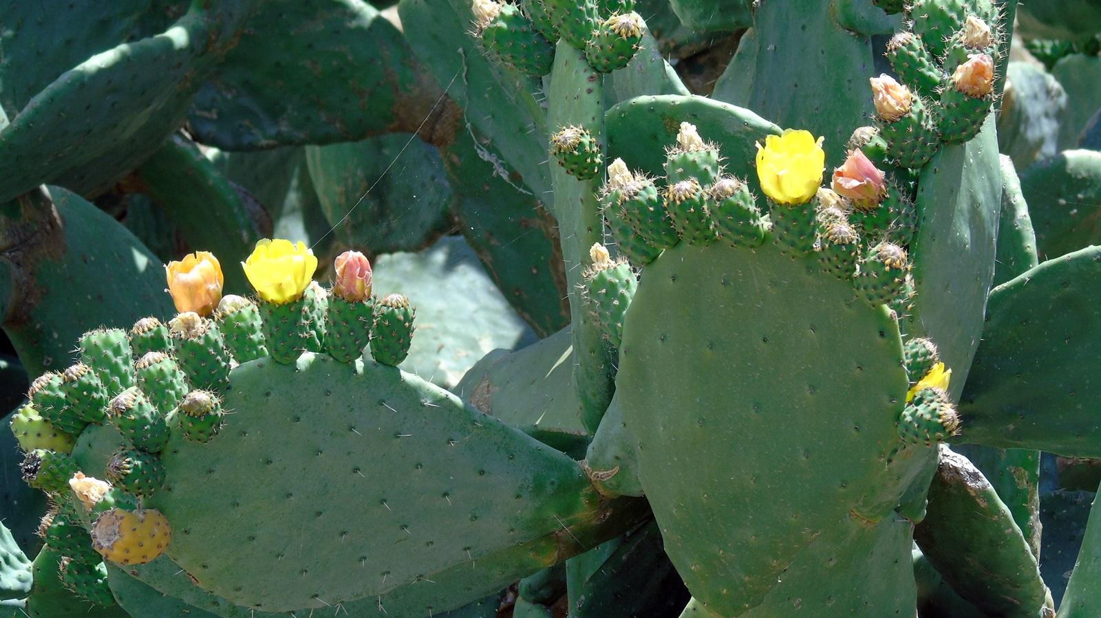 7_Opuntia ficus indica
