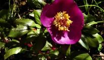 1_Paeonia mascula