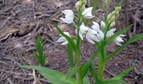 1_Cephalanthera longifolia