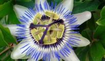 1_Passiflora caerulea